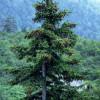 450px-Picea_jezoensis