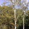 768px-Betula_platyphylla_01-10-2005_14.55.52