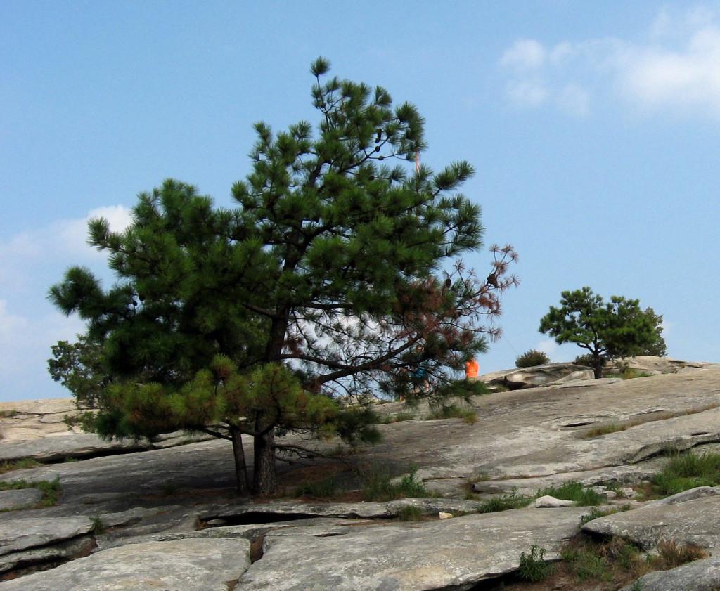 Pinus_rigida_Stone_Mountain